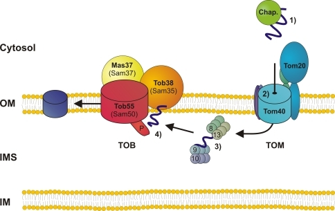 Working model for the biogenesis of mitochondrial β-barrel proteins. Precursors are synthesized in the cytosol and are probably guided to the mitochondrial surface by chaperones (1). At the mitochondrial surface, precursors are engaged by the primary import receptors of the TOM complex, predominantly via an interaction with Tom20. Subsequently, they are translocated through the TOM pore across the mitochondrial outer membrane (OM) into the intermembrane space (IMS) (2), where they interact with the small Tim protein complexes, which exert a chaperone-like function (3). Through a second step of recognition, the precursor proteins are sorted to the TOB complex, which then promotes their integration into the lipid core of the outer membrane (4)