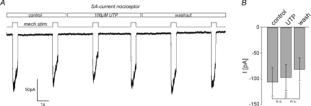 SA currents are insensitive to modulation by UTPA, example traces showing the effect of 100 μm UTP on SA currents. Neurones were clamped to −60 mV and currents were evoked by mechanical stimuli (500 ms duration) applied at 3 s intervals (black trace). UTP was present as indicated. All cells with an SA current had action potentials characteristic of nociceptors (inflection in the falling phase). B, bars represent mean SA current amplitudes measured before (control), during (UTP) and after (wash) application of UTP. Note, SA currents in the presence of UTP did not differ from those recorded under control/wash conditions (n.s., P > 0.4, Student's paired t test, n= 8).