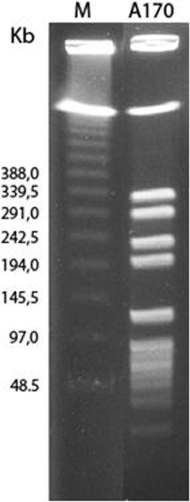 Pulsed field electrophoresis pattern of Sma I digests from the Staphylococcus aureus A170 strain.The A172 strain (not shown) displayed an identical pattern. M: DNA Size Standard, Lambda Ladder (Concatemers of λ cl857 Sam7) (Bio-Rad Laboratories, Hercules, CA).