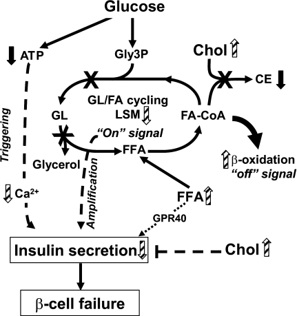"Model depicting the possible mechanisms of β-cell failure to compensate for insulin resistance in HDR mice. In normal mice, an elevation of glucose leads to an increase in ATP/ADP ratio and intracellular Ca2+ and a decrease in fatty acid oxidation that allows long-chain-acyl-CoA (fatty acid-CoA) availability for glycerolipid/fatty acid (GL/FA) cycling, which produces lipid signaling molecules (LSMs), such as diacylglycerol, necessary for insulin secretion. Enhanced GL/FA cycling is an ""on"" signal for insulin secretion that contributes to the amplification arm of GSIS. Enhanced fat oxidation is an ""off"" signal for insulin secretion because it removes molecules from the cycle (46). In HDR mice, to adapt to the elevation of circulating FFA and postprandial glucose and to prevent β-cell glucolipotoxicity and steatosis, fatty acid esterification processes and lipolysis are simultaneously decreased in association with enhanced FFA oxidation. The increase in fatty acid oxidation, in parallel to depleting LSM, reduces fatty acid-CoA availability for cholesterol ester (CE) synthesis, contributing with elevated blood cholesterol to free cholesterol accumulation and β-cell dysfunction with reduced secretion. Besides the amplification arm of GSIS, the classical triggering ATP/Ca2+ pathway is also affected in HDR versus LDR mice due to reduced glucose-stimulated ATP production and a lack of compensatory increase in the rise in Ca2+ promoted by high glucose. GPR40 activation by FFA may contribute to maintain high level of secretion and hyperinsulinemia. However, in the absence of insufficient insulin secretion for the demand due to the marked insulin resistance, HDR mice become hyperglycemic. Black arrows indicate a difference between DIO group (LDR and HDR) and normal diet group. Striped arrows indicate a difference between HDR and LDR groups."