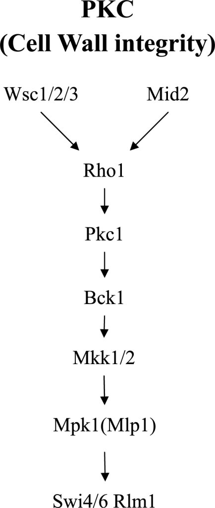 The PKC pathway in yeast.This figure is redrawn from Figure 1A in [1].