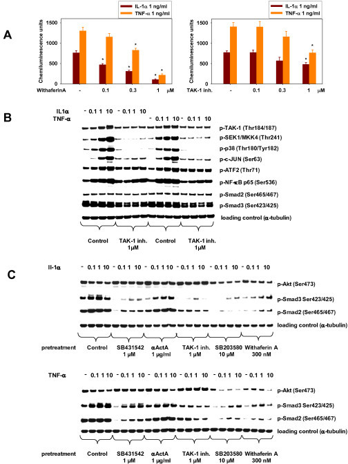 Inhibition of human skeletal muscle cell (HuSKMC) differentiation by interleukin (IL)-1α and tumor necrosis factor (TNF)-α is mediated by the transforming growth factor-β-activated kinase (TAK)-1/p38/nuclear factor (NF)κB/Activin A/SMAD2/3 pathway. (A) Analysis of NFκB-luc assay (RGA) from HuSKMC myoblasts treated with IL-1α (1 ng/ml) and TNF-α (1 ng/ml) alone, and in combination with TAK-1 inhibitor (0.1-1 μmol/l) or withaferin A (0.1-1 μmol/l). Data are expressed as relative light units (RLU). Data are means ± SEM from four independent experiments. Differences from IL-1α- and TNF-α-treated HuSKMCs (first column),*P < 0.05. (B) Immunoblotting of phospho-TAK-1, phospho-SEK1/MKK4, phospho-p38MAPK, phospho-c-Jun, phospho-ATF2, phospho-NFκB, phospho-SMAD2 and phospho-SMAD3 of samples from HuSKMCs treated with TNF-α (0.1 to 10 ng/ml) or IL-1α (0.1 to 10 ng/ml) for 15 minutes alone, and in the presence of TAK-1 inhibitor (1 μmol/l) starting at the onset of differentiation. The TAK-1 inhibitor was given 3 hours before IL-1α or TNF-α stimulation. Shown are representative immunoblots. (C) Immunoblotting of phospho-SMAD2, phospho-SMAD3 and pAKT of samples from HuSKMCs treated with TNF-α (0.1 to 10 ng/ml) or IL-1α (0.1 to 10 ng/ml) for 24 hours, alone and in the presence of SB431542 (1 μmol/l), αActA (10 μg/ml), TAK-1 inhibitor (1 μmol/l), SB203580 (10 μmol/l) or withaferin A (300 nmol/l) starting at the onset of differentiation. Inhibitors were given 3 hours before IL-1α or TNF-α stimulation. Shown are representative immunoblots.