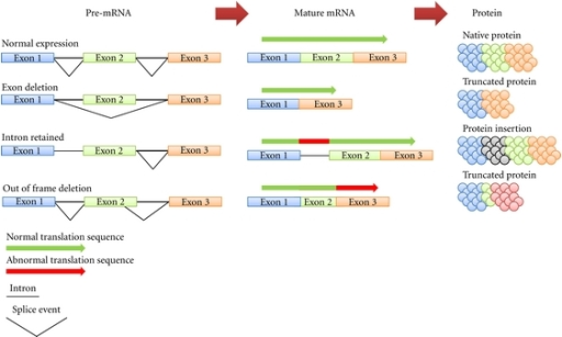 Transcripts from a single gene can undergo different splicing events. When mRNA is initially transcribed (known as pre-mRNA), it retains introns (thick black line), large segments of noncoding mRNA which separate exons, the coding regions. Through a process known as splicing, the introns are then removed and exons are ligated together to produce mature mRNA. Splicing also has the ability to remove exons or even retain introns resulting in the formation of different mature mRNA transcripts for the same gene (referred to as alternative splicing). Different mature mRNA transcripts encode for different proteins which may have alternative functions.