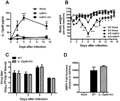 Disease severity and lung viral replication in the absence of IL-12p40.Mice (7–10 week old) were inoculated with PBS (mock) or infected i.n. with 5×106 PFU of hMPV. (A) Bronchoalveolar lavage was collected at different time points from mock, hMPV-infected and UV-inactivated hMPV-infected mice and IL-12p40 was determined by Bio-Plex Pro™ assay. n = 5 mice/group. (B) Mice were monitored daily and body weight was calculated based on the original weight before the infection. n = 3 mice/group. (C) Total lung tissue was harvested at different time points and lung infectious viral particles were titrated on LLC-MK2 cell monolayers by methylcellulose plaque assay. n = 4 mice/group. (D) hMPV N gene expression in the lung of infected mice was determined by real-time RT-PCR. n = 3 mice/group. *P<0.05, **P<0.01, ***P<0.001.