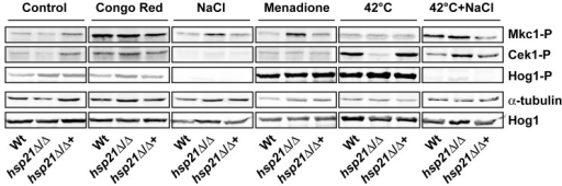Cek1 phosphorylation in response to thermal stress is Hsp21-dependent.Western blot analysis of phosphorylated Cek1, Mkc1 or Hog1. The wild type (Wt), hsp21Δ/Δ mutant and hsp21Δ/Δ::HSP21 complemented strain were incubated under non-stress conditions (control), conditions of cell wall stress (Congo red), osmotic stress (NaCl), oxidative stress (menadione), thermal stress (42°C) or a combination of thermal and osmotic stress (42°C+NaCl) for 4 hours at 30°C or 42°C. Equal amounts of protein extracts were blotted and probed for phosphorylated Cek1 (Cek1-P) and Mkc1 (Mkc1-P). Blots were then stripped and re-probed for α-tubulin (loading control). Hog1 phosphorylation (Hog1-P) was investigated in separate blots and, after stripping, blots were probed for total Hog1 (phosphorylated plus un-phosphorylated) as loading control. Note that thermal stress induces Cek1 phosphorylation in a Hsp21-dependent manner and that simultaneous osmotic stress bypasses Hsp21-dependence.