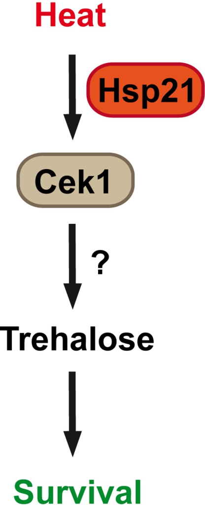 Model of Hsp21-dependent adaptation to elevated temperature.Heat stress induces Hsp21-dependent activation of Cek1, trehalose accumulation and thermal adaptation of C. albicans.