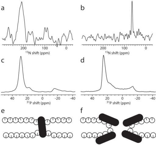 Oriented-sample solid-state 15N and 31P NMR spectra of (a) 15N-Aib8 labeled alamethicin incorporated into oriented DMPC lipids at a peptide:lipid molar ratio of 1∶15 and (b) 15N-Ile14 labeled novicidin in oriented DMPC:DMPG (molar ratio 4∶1) bilayers at 1∶15 peptide:lipid molar ratio.The resonance in the spectrum of alamethicin is substantially broadened due to mosaic spread [37] and the heterogeneous nature of the peptide-lipid interactions of the peptide [39], [56]. (c,d) 31P spectra of (c) a sample of alamethicin in oriented DMPC lipids with a peptide:lipid ratio of 1∶25 and (d) the novidin sample in (b). (e,f) Models showing the most likely conformations of the peptides and lipids at high peptide:lipid ratio for (e) alamethicin and (f) novicidin in lipid bilayers.