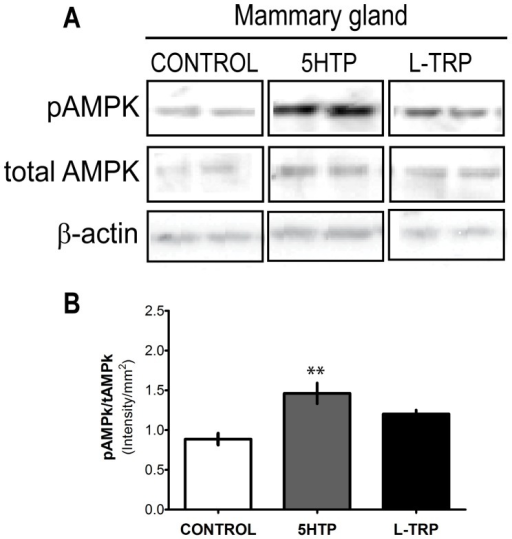 AMPK activation is increased in mammary glands of dams.Western blot analysis of mammary glands collected on d9 of lactation from dams fed CON, 5-HTP, and L-TRP diets. (A) Representative western blots for pAMPK, total AMPK and β-actin (n = 8 per group) (B). Two asterisks (**) indicates statistical significance at P<0.01.