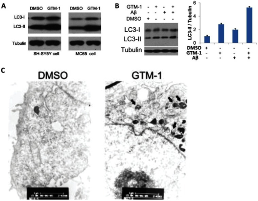 GTM-1 up-regulates autophagy level.A, SH-SY5Y/LC3-GFP and MC65 cells were treated with 20 µM GTM-1 for 12 hrs. Next, the cell lysates were analyzed using western blotting with anti-LC3 and anti-β-tubulin (as a control). B, Left: SH-SY5Y and MC65 cells were treated with 20 µM GTM-1 for 6 hrs. Next, the cell lysates were analyzed using western blotting with anti-LC3 and anti-β-tubulin (as a control). Right: quantification of the Western blot images of the ratio between LC3-II and tubulin. C, MC65 cells were treated with vehicle control (1% DMSO) or GTM-1 (20 µM) for 8 hrs. The cells were then fixed with glutaraldehyde and prepared for EM analysis. Bar, 1∶11,000. Arrows indicate double and multi-membrane autophagosomic vesicles.
