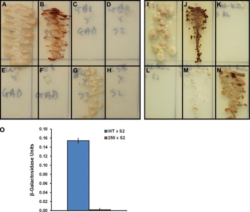 Effect of the E258K mutation on the interactions of N-terminal cMyBP-C with myosin S2 and cardiac actin. (A–H) Y2H interaction tests between the WT and E258K C1-C2 region of human cMyBP-C and the 126 distal amino acids of human myosin S2. (A) pGBKT7-53 × pGADT7-T (positive control of a robust interaction). (B) pGBKT7-S2 × pGADT7-S2 (positive control of a relatively weak interaction). (C) pGBKT7 × pGADT7 (negative control). (D) pGBKT7 × pGADT7-S2 (negative control). (E) pGBKT7-C1C2WT × pGADT7 (negative control). (F) pGBKT7-C1C2E258K × pGADT7 (negative control). (G) pGBKT7-C1C2WT × pGADT7-S2 (interaction of interest). (H) pGBKT7-C1C2E258K × pGADT7-S2 (interaction of interest). (I–N) Y2H interaction tests between the WT and E258K C1-C2 region of human cMyBP-C and α cardiac actin (ACTC1), as well as their appropriate control interaction tests. (I) pGBKT7-53 × pGADT7-T (positive control of a robust interaction). (J) pGBKT7-S2 × pGADT7-S2 (positive control of a relatively weak interaction). (K) pGBKT7 × pGADT7-ACTC1 (negative control). (L) pGBKT7-53 × pGADT7-ACTC1 (negative control). (M) pGBKT7-C1C2WT × pGADT7-ACTC1 (interaction of interest). (N) pGBKT7-C1C2E258K × pGADT7-ACTC1 (interaction of interest). Yeast were grown on minimal selection media lacking leucine, tryptophan, histidine, and adenine. (O) Quantitative β-galactosidase assay performed in diploid yeast containing pGBKT7-C1C2WT × pGADT7-S2 (blue bar) and pGBKT7-C1C2E258K × pGADT7-S2 (red bar). n = 3. Error bars indicate SEM.
