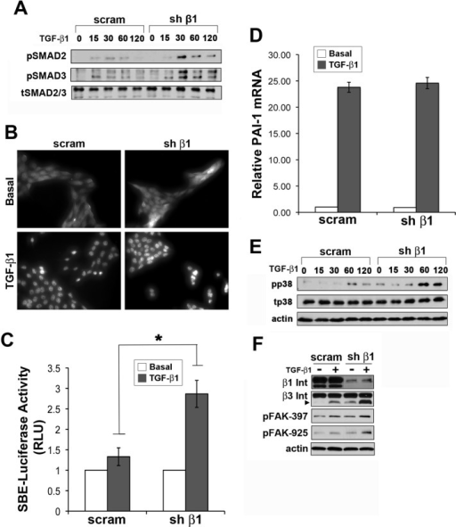 Compensatory β3 integrin expression enhances TGF-β signaling in β1 integrin–deficient 4T1 cells. (A) Quiescent parental (scram) and β1 integrin-deficient 4T1 cells were stimulated with TGF-β1 (5 ng/ml) for 0–120 min as indicated, at which point the phosphorylation status of Smad2 and Smad3 was analyzed by immunoblotting. Data are representative of three independent analyses. (B) Smad2/3 immunofluorescence (200×) depicts the subcellular localization of Smad2/3 in basal and TGF-β1 (5 ng/ml; 30 min)–stimulated parental (scram) and β1 integrin–deficient 4T1 cells. Data are representative of three independent experiments. (C) Parental (scram) and β1 integrin–deficient 4T1 cells were transiently transfected with pCMV-β-gal and pSBE-luciferase reporter genes and subsequently stimulated with TGF-β1 (5 ng/ml) for 24 h. Data are mean (±SE) of four independent experiments completed in triplicate. (D) Parental (scram) and β1 integrin–deficient 4T1 cells were stimulated with TGF-β1 (5 ng/ml) for 48 h, at which point alterations in PAI-1 mRNA were analyzed by semiquantitative real-time PCR. Data are mean (±SE) of three independent experiments completed in triplicate. (E, F) Parental (scram) and β1 integrin–deficient 4T1 cells were stimulated for 0–120 min (E) or 24 h (F) with TGF-β1 (5 ng/ml) before monitoring the phosphorylation status and expression levels of p38 MAPK. Data are representative of three (E) or two (F) independent analyses.
