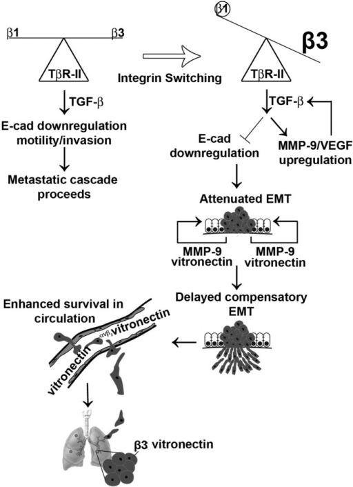 Model of the dichotomous roles of β1 and β3 integrins in mediating breast cancer metastasis. Integrin switching between β1 and β3 integrins in metastatic 4T1 cells uncouples TGF-β from down-regulating E-cadherin expression, thereby attenuating the acquisition of EMT and migratory phenotypes. Elevated expression of MMP-9 and VEGF is associated with this integrin switching event and contributes to autocrine TGF-β signaling and activation of compensatory EMT programs. The physiological distribution of vitronectin expression may selectively mediate the pulmonary outgrowth of cells that underwent β1 → β3 integrin switching.