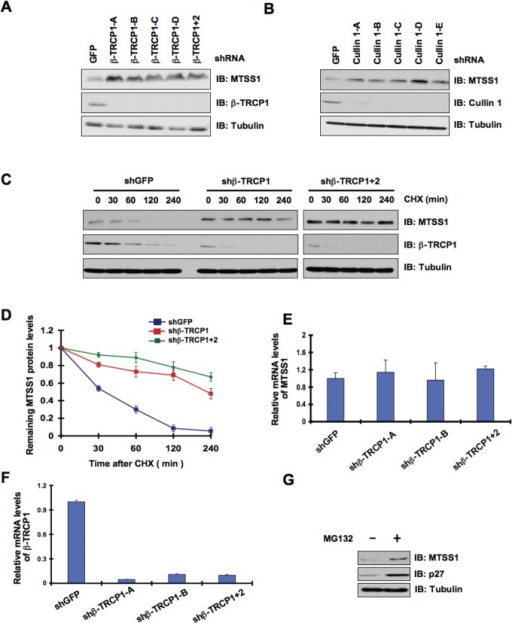 MTSS1 protein stability is controlled by the SCFβ-TRCPE3 ubiquitin ligase(A) Immunoblot (IB) analysis of whole cell lysates (WCL) derived from 293T cells infected with shRNA constructs specific for GFP, β-TRCP1 (four independent lentiviral β-TRCP1-targeting shRNA constructs namely, -A, -B, -C, -D), or β-TRCP1+2, followed by selection with 1 μg/ml puromycin for three days to eliminate the non-infected cells. B) IB analysis of WCL from 293T cells transfected with shRNA specific for GFP, or several shRNA constructs against Cullin 1 (five independent lentiviral Cullin 1-targeting shRNA constructs namely, -A, -B, -C, -D, -E) followed by selection with 1 μg/ml puromycin for three days to eliminate the non-infected cells. (C) 293T cells were infected with the indicated shRNA constructs followed by selection with 1 μg/ml puromycin for three days to eliminate the non-infected cells. The generated stable cell lines were then split into 60-mm dishes. 20 hours later, cells were treated with 20 μg/ml CHX. At the indicated time points, WCL were prepared, and immunoblots were probed with the indicated antibodies. (D) Quantification of the band intensities in C. MTSS1 band intensity was normalized to tubulin, and then normalized to the t = 0 controls. The error bars represent mean ± SD (n= 3). (E-F) Relative mRNA levels of MTSS1 (E) or β-TRCP1 (F) in 293T cells infected with shRNA constructs specific for GFP, -TRCP1 (-A and -B) or β-TRCP1+2 followed by selection with 1 μg/ml puromycin for three days to eliminate the non-infected cells. MTSS1 and β-TRCP1 mRNA levels were normalized to GAPDH, and then normalized to the control cells (shGFP). (G) IB analysis of WCL derived from 293T cells treated with vehicle or MG132 as indicated.