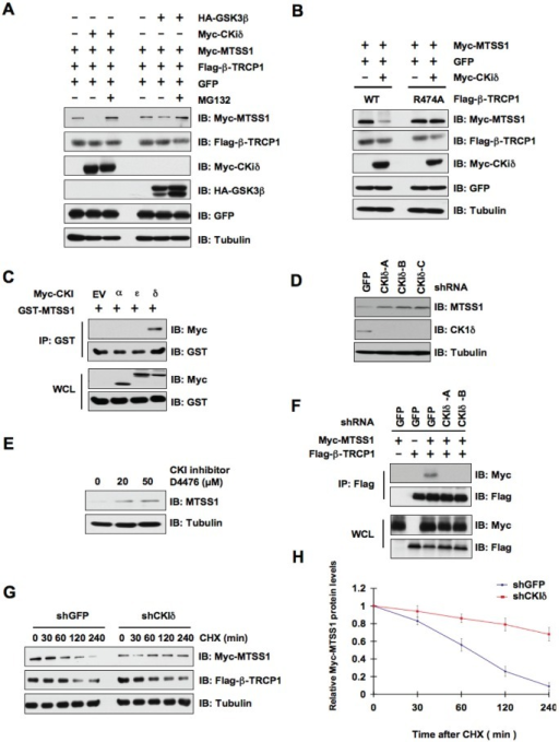 CKIδ is involved in the regulation of MTSS1 protein stability mediated by SCFβ-TRCP(A) Immunoblot (IB) analysis of whole cell lysates (WCL) derived from HeLa cells transfected with Myc-MTSS1, Flag-β-TRCP1, and indicated kinases. Where indicated, cells were treated with the proteasome inhibitor MG132. (B) IB analysis of WCL derived from 293T cells transfected with Myc-MTSS1 and/or Myc-CKIδ together with Flag-WT—β-TRCP1 or Flag-R474A—β-TRCP1. (C) IB analysis of WCL and immunoprecipitates (IP) derived from 293T cells transfected with GST-MTSS1 and Myc-tagged versions of the indicated CKI isoforms. (D) IB analysis of HeLa cells that were infected with shRNA specific for GFP or the indicated CKI isoforms, followed by selection with 1 μg/ml puromycin for three days to eliminate the non-infected cells. (E) IB analysis of HeLa cells treated with the CKI inhibitor D4476 at the indicated concentrations for 12 hours. (F) IB analysis of WCL and IP derived from HeLa cells that were infected with shGFP, shCKIδ-A or shCKIδ-B, followed by selection with 1 μg/ml puromycin for three days to eliminate the non-infected cells. The various generated HeLa cell lines were then transfected with Flag—β-TRCP1 and/or Myc-MTSS1 as indicated. (G) HeLa cells were infected with the indicated shRNA constructs followed by selection with 1 μg/ml puromycin for three days to eliminate the non-infected cells. The various generated HeLa cell lines were then transfected with Myc-MTSS1, Flag—β-TRCP1. 20 hours post-transfection, the cells were split into 60-mm dishes before being treated with 20 μg/ml CHX. At the indicated time points, WCL were prepared, and immunoblots were probed with the indicated antibodies. (H) Quantification of the band intensities in G. Myc-MTSS1 band intensity was normalized to tubulin, and then normalized to the t = 0 controls. The error bars represent mean ± SD (n= 3).