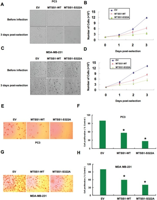 Mutant MTSS1 inhibits PC3 and MDA-MB-231 cancer cell proliferation(A-D) PC3 (A, B) or MDA-MB-231 (C, D) cells were infected with pBabe-EV, pBabe-HA-wild-type-MTSS1 or pBabe-HA-S322A-MTSS1 retroviral vectors and photographs were taken after growing the generated stable cell lines for 3 days in puromycin (1 μg/ml) selection medium to eliminate the non-infected cells. The numbers of PC3 (B) or MDA-MB-231 (D) cells were quantified at the indicated time points. The number of cells was normalized against the number of cells in the corresponding pBabe-EV cells. The error bars represent mean ± SD (n= 3). (E-H) PC3 (E, F) or MDA-MB-231 (G, H) cells were infected with pBabe-EV, pBabe-HA-wild-type-MTSS1 or pBabe-HA-S322A-MTSS1 retroviral vectors and photographs were taken after growing the cells for 3 days in puromycin (1 μg/ml) selection medium to eliminate the non-infected cells. Furthermore, the generated cell lines were subjected to pulse of BrdU and then immunostained using anti-BrdU antibody as described in the methods section. Quantitative measurements of PC3 (F) or MDA-MB-231 (H) cells stained for BrdU were presented. The number of cells was normalized against the number of cells in the corresponding pBabe-EV cells. The error bars represent mean ± SD (n= 3) * p< 0.05.