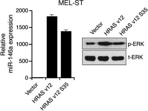 Ectopic expression of HRAS v12 or HRAS v12 S35 in MEL-ST cells stimulates miR-146 expression.qRT-PCR analysis of miR-146a (left) and immunoblot analysis (right) of phosphorylated (p-) ERK, total (t-) ERK in MEL-ST cells transduced with empty vector, HRAS v12, or HRAS v12s35.DOI:http://dx.doi.org/10.7554/eLife.01460.006