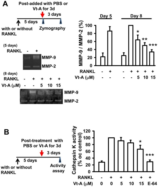 Enzyme activities of MMP-9 and cathepsin K were repressed by subsequent addition of (+)-vitisin A (Vt-A).MMP-9 activities (A) were analyzed using gelatin zymographic assays and cathepsin K activity (B) was measured by using QFRET Technology as described in methods. Data represent the mean ± SEM of four independent experiments.*p<0.05, **p<0.01 and ***p< 0.001, different from values after stimulated with RANKL alone.