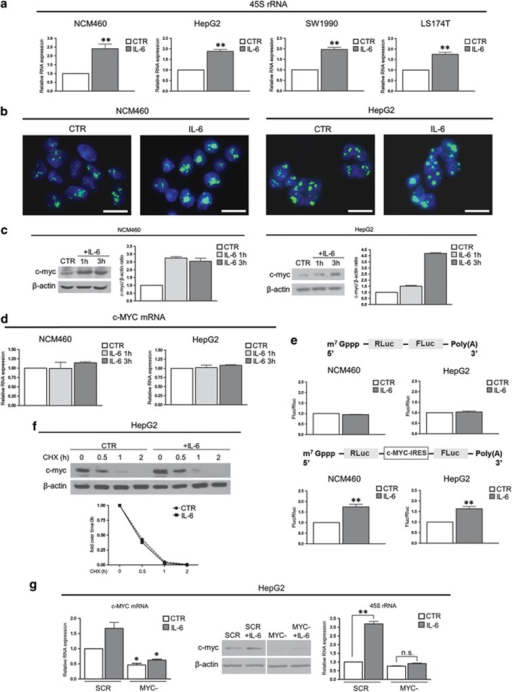 IL-6 treatment stimulates rRNA transcription by activation of c-myc protein in NCM460 and HepG2 cell lines. (a) Real-time–PCR analysis of the 45S rRNA expression in NCM460, HepG2, SW1990 and LS174T cells after 24 h of IL-6 treatment performed with a dose of 50 ng/ml. (b) Visualization of rRNA synthesis in control and IL-6-treated NCM460 and HepG2 cells. Cells were labeled with 5-FU for 15 min, and 5-FU revealed by specific FITC-conjugated monoclonal antibody. DAPI counterstaining. Scale bar=20 μm. (c) Representative western blot and densitometric analysis of c-myc expression in NCM460 and HepG2 cells treated with IL-6 for 1 and 3 h. (d) Real-time–PCR analysis of the c-MYC mRNA levels in NCM460 and HepG2 after 1 and 3 h of IL-6 treatment. (e) IRES-mediated translation assessed by measuring the FLuc and RLuc activity in control and 4 h IL-6-treated NCM460 and HepG2 cells after 8 h transfection with a bicistronic mRNA transcribed either from pRF (top) or from pR-c-MYC-IRES-F (bottom). (f) Time-course analysis of c-myc protein expression in control and 24 h-IL-6-stimulated HepG2 cells, exposed to cycloheximide (CHX) at a concentration of 20 μg/ml. (g) Real-time–PCR and western blot analysis of c-MYC expression in scrambled control siRNA (SCR) and in 24 h c-MYC-silenced (MYC−) HepG2 cells exposed to IL-6 for 24 h. The right panel shows the 45S rRNA expression in the same experimental condition. Histograms show the values (mean±s.d.) of three experiments. *P<0.05; **P<0.01. n.s., not significant.