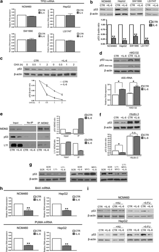 Stimulation of rRNA transcription by IL-6 downregulates p53 expression and activity. (a) Real-time–PCR evaluation of the TP53 mRNA expression in NCM460, HepG2, SW1990 and LS174T cells after 24 h of IL-6 treatment. (b) Representative western blot and densitometric analysis of p53 expression in NCM460, HepG2, SW1990 and LS174T cells treated with IL-6 for 24 h. (c) Representative western blot and time-course analysis of p53 protein expression in control and 24 h IL-6-stimulated HepG2 cells, exposed to cycloheximide (CHX) at a concentration of 20 μg/ml. The values relative to p53 expression at 0.5, 1 and 2 h of CHX treatment are significantly higher in control than in IL-6-exposed cells (P<0.01). (d) Western blot evaluation of p53 protein expression and real-time–PCR analysis of 45S rRNA in control and IL-6-treated HepG2 cells exposed to the proteasomal inhibitor MG-132 at a concentration of 10 μm for 2 h (e) Coimmunoprecipitation and densitometric analysis of the amount of p53 and RPL11 protein bound to MDM2 in control and IL-6-stimulated HepG2 cells. The amount of MDM2, p53 and L11 is shown in the first two lanes before immunoprecipitation (input). The third and fourth lanes show the quantity of non-immunoprecipitated proteins. The fifth and sixth lanes show the amount of MDM2, p53 and L11 proteins after immunoprecipitation with anti-MDM2 polyclonal antibody (IP:MDM2). (f) Representative western blot and densitometric analysis of p53 protein expression in control and 24 h IL-6-stimulated HepG2 cells treated with Nutlin-3 at a concentration of 5 mM for 16 h. (g) Representative western blot analysis of p53 expression in control (SCR), RPL11-silenced (L11−), MYC-silenced (MYC−) and RPL11− and MYC-silenced HepG2 cells. The cells were exposed, 48 h after the end of the silencing procedure, to IL-6 for 24 h. (h) Real-time–PCR analysis of the mRNA expression of p53 target genes BAX and PUMA in NCM460 and HepG2 cells exposed to IL-6 for 24 h. (i) Representative western blot of p53 expression in NCM460 and HepG2 cells exposed to IL-6 for 24 h and treated with 3.4 μM hydroxyurea or 20 μg/ml 5-FU for 4 h. Histograms show the values (mean±s.d.) of three experiments. *P<0.05; **P<0.01; n.s., not significant.