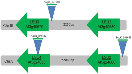 Localization of 'response to Low Sulfur' (LSU) genes in the Arabidopsis genome. Number of base pairs (bp) between LSU open reading frames is indicated. Positions of T-DNA inserts are shown schematically.