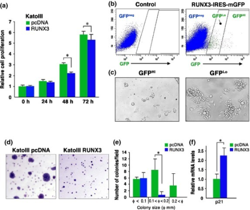 Suppression of tumorigenicity of KatoIII cells by RUNX3. (a) Relative cell proliferation rates of RUNX3 vector-transfected KatoIII cells and control vector-transfected cells at the indicated time points (mean ± SD). *P < 0.05. (b) Flow cytometry analyses for GFP expression in the control (left) and RUNX3-IRES-mGFP-transfected (right) KatoIII cells. (c) Representative photographs of GFPHi (left) and GFPLo (right) cells sorted from RUNX3-IRES-mGFP-transfected KatoIII cells after culture for 6 days. (d) Representative photographs of the soft agar colonies of the control (left) and RUNX3-transfected KatoIII cells (right). (e) The number of soft agar colonies per dissecting microscopic field. *P < 0.05. (f) Relative p21 mRNA expression level in RUNX3 vector-transfected KatoIII cells to the control cells (mean ± SD). *P < 0.05.
