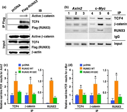 Binding of the RUNX3, TCF4 and β-catenin complex to Wnt target gene promoters. (a) Immunoprecipitation for β-catenin and TCF4 with an anti-Flag (RUNX3) antibody. (b) ChIP analyses of the Axin2 (left) and c-Myc (right) promoter regions using lysates precipitated (IP) with anti-TCF4, anti-β-catenin and anti-RUNX3 antibodies. Lanes 1 and 4, control KatoIII cells; Lanes 2 and 5, RUNX3-expressing KatoIII cells; and Lanes 3 and 6, R122C mutant RUNX3-expressing KatoIII cells. (c,d) ChIP-based real-time PCR for the Axin2 (c) and c-Myc (d) promoters (mean ± SD). ChIP samples were precipitated (IP) with anti-TCF4, anti-unphosphorylated β-catenin or anti-RUNX3 antibodies from control cells (blue), RUNX3-expressing KatoIII cells (orange) or R122C mutant RUNX3-expressing KatoIII cells (green), and examined by real-time PCR. *P < 0.05 versus control.