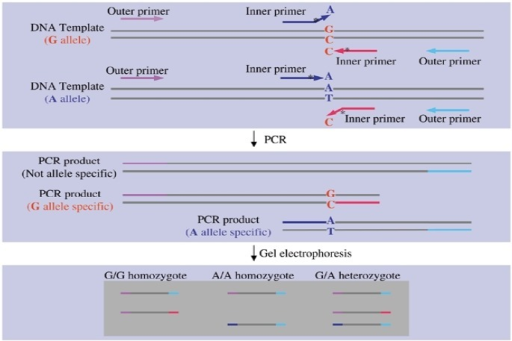Schematic drawing of tetra-primers ARMS-PCR method. Genetic variation shown is a single nucleotide substitution. By using two pairs of primers, two different and specific segments are amplified for each nucleotide. Specificity of each of these two primers is because of a mispairing at the 3′ ends of the inner primers. However, to make the bindings more specific, a second mispairing is introduced at the second position at the 3′ end of each inner primer (17)