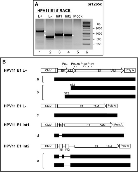 Mapping of HPV11 promoter activity from E6/E7-containing E1 expression plasmids. (A) U2OS cells were transfected with 1 μg of different HPV11 expression plasmids (indicated at top of panel A and schematically introduced in panel B). PolyA+ mRNA was extracted at 24 h post-transfection, and 5′ RACE analysis was performed with the HPV11-specific primer pr1265c. The products from a-e were sequenced, and their structures are shown in panel B. Mock-transfected U2OS cells were used as a negative control (lane 5). (B) Schematic map of the 5′ RACE products from the E1 expression plasmids, together with HPV11 E1 L+, L-, Int1 and Int2 expression vector maps. All of the E1 protein-coding transcripts (indicated with letters from a-e, shown at left) are shown, indicating their exons (solid boxes), introns (lines) and potential TSSs in E6 and E7 ORFs (nt numbers).