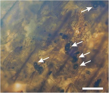 Microscopic photograph of an excised ventral skin patch of Zameus squamulosus (ZSM30966). Arrows indicate photophores in open state. Scale bar indicates 200 μm