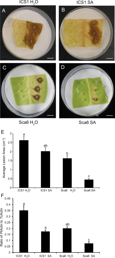 Inoculation of SA pre-treated stage C leaves from ICS1 and SCA6 with Phytophthora tropicalis. Stage C leaves were inoculated with agar plugs containing P. tropicalis mycelium 24h after water or 1mM SA treatment. Representative images of (A) water-treated ICS1 leaves, (B) SA-treated ICS1 leaves, (C) water-treated SCA6 leaves and (D) SA-treated SCA6 leaves 3 d after inoculation. Scale bars, 1cm. (E) Average lesion areas in replicate leaves were evaluated by ImageJ. Data represent means ±SE of treated leaves from 24 replicates per genotype. Letters above bar chart show the significant differences (P<0.05) determined by Fisher's PLSD analysis. (F) Relative pathogen biomass was measured by qPCR with DNA isolated 48h after inoculation and is expressed as the ratio of P. tropicalis actin to cacao actin. Bars represent means ±SE of four biological replicates, each with three technical replicates. Letters above the bar show the significant differences (P<0.05) determined by Fisher's PLSD analysis.