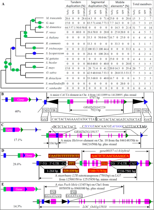 "Expansion mechanisms of the SuSy, SPS, SPP and UDPGP families in 15 plants.(A) The phylogenetic tree in left panel was constructed according to the plant genome duplication database (http://chibba.agtec.uga.edu/duplication/) and showed the whole genome duplication history of 15 species. Green and blue stars indicate whole genome duplication and triplication, respectively. Columns in right panel in (A) indicates the contributions of tandem, segmental duplications and mobile elements to the expansion of the SuSy, SPS, SPP and UDPGP families in 15 genomes. The last column showed the summary of all identified family members in 15 species. The star ""*"" indicates mobile elements including LTR-retrotransposon, retrogene, Pack-Mule, hAT, Helitron and CACTA elements. Figures (B–E) show different types of expansion of family members by transposition. (B) A whole gene fragment was duplicated (type 1). A maize gene GRMZM2G342226 was expanded by a CACTA element in chromosome 4, which was characterized with typical CACTA structures. TSD, target site duplication; TIR, terminal inverted repeat. (C) Only 3′-region of a gene was duplicated (type 2). The 3′-region of a maize gene GRMZM2G139157 was duplicated by the Helitron element on chromosome 10 with typical Helitron features. The Helitron begins with ""TC"" and ends with CTAG, which were conserved sequence motifs (indicated by bold uppercase letters). These two motifs form parts of 11 bp palindromic sequences (underlined). Helitron sequences are in uppercase letters and the invariant host nucleotides where the Helitrons insert are in lowercase letters. The inverted repeats at the 3′ termini are in blue fonts. The 336 bp fragment is the duplicated gene fragment. (D) The 5′-region of a gene was duplicated (type 3). The strawberry gene gene00357-v1.0-hybrid was duplicated by a LTR-retrotransposon. The figure indicates structural features of this retrotransposon including 5′- and 3′-LTR, both of which start with TG and end with CA. Both PPT (polypurine tract) and PBS (primer binding site) are also indicated. (E) The middle region of a gene was duplicated (type 4). The middle region of a rice gene LOC_Os01g15910 was duplicated by a rice Pack-Mule on chromosome 1. TSD, target site duplication."