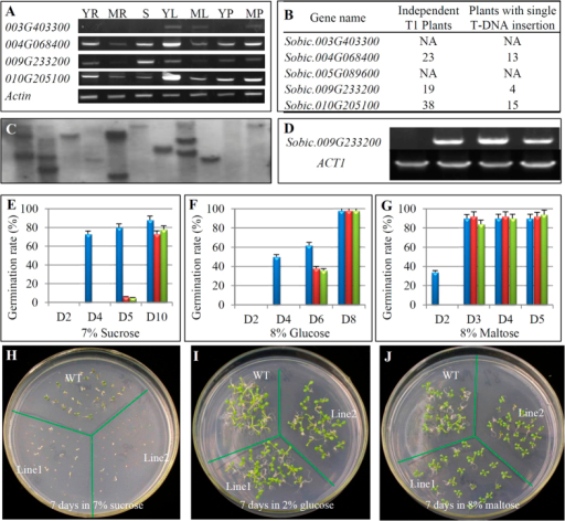"Molecular and phenotypic characterization of transgenic Arabidopsis plants overexpressing sweet sorghum SPS genes.(A) Expression patterns of 4 SPS genes in sweet sorghum Keller by RT-PCR analysis. Total RNA samples were prepared from 7 different tissues. YR, young root, from 14-day seedlings; MR, mature root, from 3-month plants; S, stem, from 30-day plants; YL, young leaf, from 14-day seedlings; ML, mature leaf, from 3-month plants; YP, young panicle, from un-flowering panicles; MP, mature panicle, from flowering panicles. The prefix ""Sobic."" was omitted in each locus name. (B) Three of five sorghum SPS genes were independently overexpressed in Arabidopsis under the maize ubiquitin promoter to generate at least 4 independent transgenic lines with single copy of T-DNA insertion in each construct. NA, not available. (C) An example of copy number detection by Southern blot hybridization. DNA samples from 11 transgenic plant (ubiquitin:: Sobic.009G233200) were digested by PstI for the hybridization using the probe prepared from the hygromycin gene. (D) Expression analysis of 3 independent transgenic plants (ubiquitin::Sobic.009G233200) with single copy of T-DNA insertion. ACT1, an Arabidopsis gene encoding Actin-1 protein with locus name At2g37620. (E–G) Effects of sucrose, glucose and maltose treatments, respectively, on germination rates of WT and transgenic plants. D2, D3, D4, D5, D6, D8 and D10 indicated 2, 3, 4, 5, 6, 8 and 10 days after inoculation on ½ MS media. (H–J) Phenotypic observation of transgenic plants treated by sucrose, glucose and maltose, respectively, by comparing with WT."