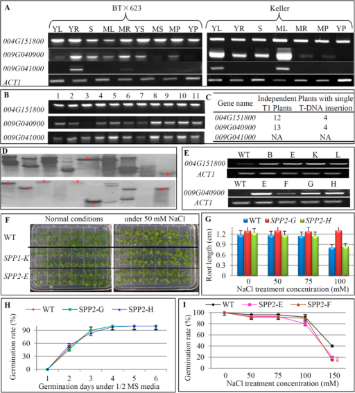 "Molecular and phenotypic characterization of transgenic Arabidopsis plants overexpressing sweet sorghum SPP genes.(A) Comparative expression analysis of 3 sorghum SPP genes between grain (BT × 623) and sweet (Keller) sorghum varieties. YL, YR, S, ML, MR, MP and YP were defined as in Figure 7. YS, young seeds; MS, mature seeds. ACT1, an Arabidopsis gene encoding Actin-1 protein with locus name At2g37620. (B) Expression patterns of 3 SPP sorghum genes under various abiotic stresses and sugar treatments. 1, Control (under normal conditions); 2, 30% PEG 0.5 h; 3, 30% PEG 2 h; 4, 250 mM NaCl 2 h; 5, 250 mM NaCl 8 h; 6, Ice-water at 4 °C 2 h; 7, Ice-water at 4 °C8 h; 8, 5% glucose 2 h; 9, 5% glucose 6 h; 10, 5% sucrose 2 h; 11, 5% sucrose 6 h. (C) Two of three sorghum SPP genes were independently overexpressed in Arabidopsis under the maize ubiquitin promoter to generate at least 4 independent transgenic lines with single copy of T-DNA insertion in each construct. NA, not available. (D) An example of copy number detection by Southern blot hybridization. DNA samples from 19 transgenic plants (ubiquitin::Sobic.004G151800) were digested by PstI for the hybridization using the probe prepared from the HYGROMYCIN gene. (E) Expression analysis of 4 independent transgenic plants (ubiquitin::Sobic.004G151800 and ubiquitin::Sobic.009G040900) with single copy of T-DNA insertion. In (A–E) the prefix ""Sobic."" was omitted in each locus name for convenience. (F) Phenotypic observation of transgenic plants under normal and high salinity treatment by comparing with WT plants. SPP1 and SPP2, transgenic plants from ubiquitin::Sobic.004G151800 and ubiquitin::Sobic.009G040900, respectively. (G) Measurement of root length under high salinity stress for transgenic plants overexpressing SPP2. (H) Investigation of germination rates between WT and transgenic plants SPP2 under normal growth conditions. (I) Effects of high salinity treatments on germination rate in transgenic plants SPP2. The stars ""*"" in (I) indicated significant difference in germination rates between WT and transgenic plants."