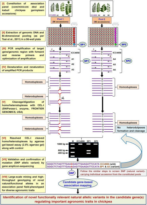 Schematic depicting the major steps followed in an agarose gel-based EcoTILLING assay for efficient identification of functionally relevant molecular tags governing useful agronomic traits in chickpea. This strategy is optimized for successful large-scale mining of novel SNP allelic variants from the target genomic regions (genes) by genotyping in a constituted field-phenotyped association panel (desi and kabuli core/mini-core germplasm lines). A, Accessions; SP, Superpool; F, (Forward); and R, (Reverse) primers.