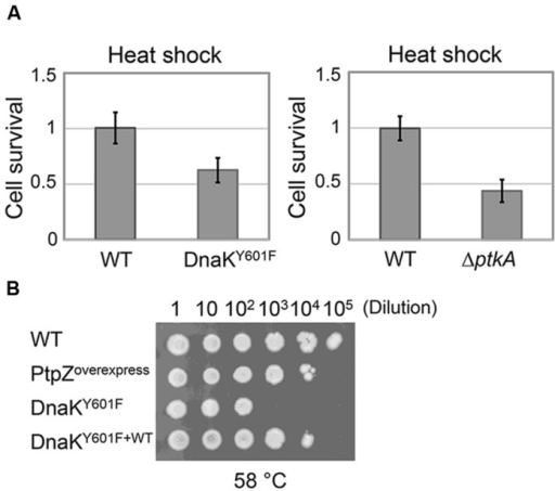Non-phosphorylated state of DnaK results in impaired heat resistance in vivo.(A) Survival of the heat shock treatment (55°C for 5 min) of B. subtilis strains ΔptkAΔlysA and dnaK Y601F compared to their respective WT. Heat resistance is expressed as the number of CFUs after treatment/number of CFUs without treatment. Each strain was normalized with respect to the WT. The results are the mean values from three independent replicates, with error bars representing the standard deviation. (B) Growth tests for B. subtilis strain: WT, ptpZ overexpression, Y601F and Y601F carrying WT copy of dnaK. Serial dilutions of each culture were spotted onto plates and incubated at 58°C for 10 h and additional 4 h at 37°C. The result is representative of three independent replicates.