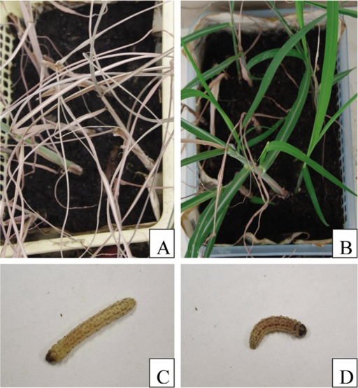 Bioassay in the seedling stage.A: Symptoms of non-transgenic sugarcane plantlets challenged with sugarcane borers; B: Symptoms of transgenic sugarcane plantlets challenged with sugarcane borers; C: Sugarcane borer feeding with non-transgenic sugarcane plantlets; D: Sugarcane borer feeding with transgenic sugarcane plantlets.