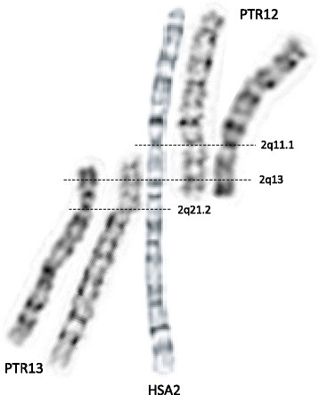 Alignment of G-banded human (HSA2) and chimpanzee (PTR12 and PTR13) metaphase chromosomes demonstrates that a few megabases of subtelomeric regions (mainly repetitive satellite DNA) are absent in the human genome. DNA seqeunece of these genomic regions in PTR12 and PTR13 is not well annotated and their gene content is essentially unknown. Note that this sequence may not represent the deleted fragments of the ancestral chromosomes IIp and IIq [16]