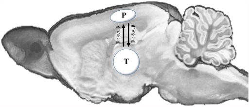 Estimated connectivity of the parietal area and thalamus using PDC.The solid line indicates an increase in connectivity between the two areas. The frequency shown on the line indicates the frequency bands between the two areas that are statistically significant (P < 0.05). T: thalamus, P: parietal area.