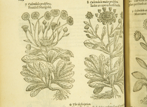 <p>Separate woodcuts of two varieties of marigold, showing the flowers, stalks, leaves, and roots.</p>
