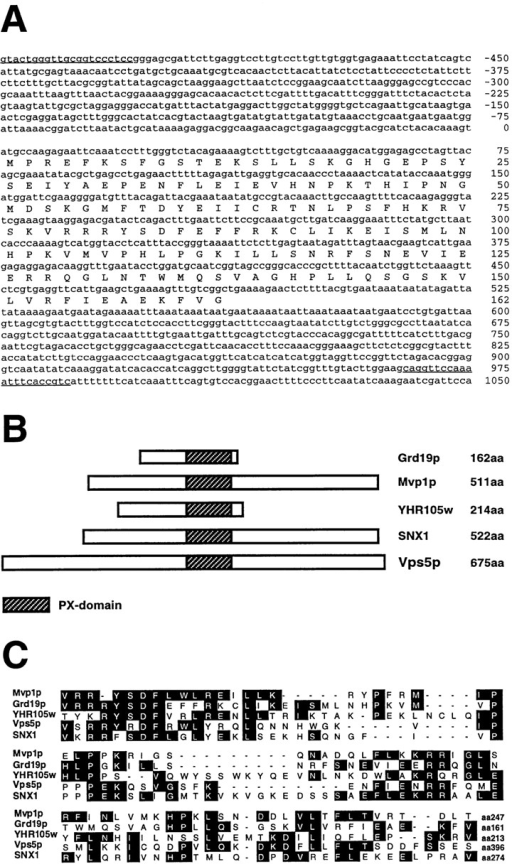 Nucleotide and amino acid sequence of GRD19 gene  region. (A) Underlined nucleotide sequence represents the sequence of the oligonucleotides used for cloning the full-length  GRD19 gene. The region was identified in the yeast genome database as ORF YOR357c. (B) Schematic drawing showing proteins related to Grd19p and the relative position of the conserved  PX domain. (C) Sequence comparison between the PX domains  of several proteins that were aligned by the ClustalW program.  The sequence data are available from EMBL/DDBJ/Genbank  under accession numbers: Mvp1p (U16137), Vps5p (U84735),  SNX1 (U53225), and Grd19p (AF016101).