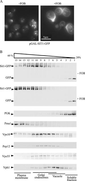 FOB-dependent localization of Sit1-GFP.The sit1Δ cells transformed with pGAL-SIT1-GFP were cultured overnight in raffinose-containing medium. Sit1-GFP synthesis was induced for 1 h by adding galactose to the medium with (+FOB) or without (−FOB) 10 μm FOB. A) Cells were visualized by fluorescence microscopy with a GFP filter set and B) processed for subcellular fractionation. Cells were lysed and protein extracts were fractionated on a 20–60% sucrose density gradient. Aliquots of the various fractions were analysed by Western immunoblotting for the presence of GFP, PGK (a cytosolic protein), plasma membrane ATPase 1 (Pma1), Vps10 (carboxypeptidase Y receptor, which cycles between the Golgi and late endosome compartments), Pep12 (SNARE protein involved in the fusion of vesicles with late endosomes), Vps55 (transmembrane protein of the late endosomes) and Vph1 (transmembrane subunit of the vacuolar ATPase).