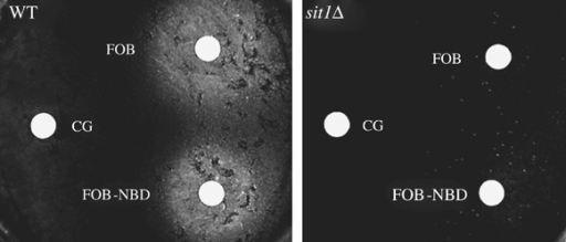 Sit1-dependent use of FOB-NBD by the cells.Wild-type (WT) or sit1Δ cells were plated on YPD-agar medium supplemented with 1 mm BPS (to prevent reductive iron uptake). Sterile filter paper disks containing siderophores (5 μL of 10 μm CG, FOB or FOB-NBD) were placed on the surface of the agar. Plates were incubated for 2 days at 30°C and photographed. Growing cells appeared as a white halo around the filter papers.