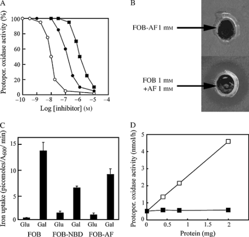 The AF-FOB conjugate does not reach its target in vivo.A) The IC50 values of free AF (○), DFOB-AF (•) and FOB-AF (▪) for protopor. oxidase activity were determined in vitro on whole cell extracts. B) Wild-type S. cerevisiae cells were plated as a lawn on YPGly agar. Wells were created in the agar with a hole punch, into which 50 μL of 1 mm FOB-AF or 25 μL FOB 2 mm + 25 μL AF 2 mm was dispensed. Cell growth on the plate was examined after 3 days at 30 seconds. It was inhibited only with FOB + AF (inhibition visible as a halo around the bottom well). C) Accumulation of FOB and FOB conjugates in cells overexpressing SIT1. Sit1Δ cells transformed with pGAL-SIT1-GFP were cultured overnight in raffinose-containing medium to midexponential growth phase. We then added glucose (2%) or galactose (2%) and cultured the cells for a further 4 h. 55Fe-labelled FOB, FOB-NBD or FOB-AF was then added, and the amount of 55Fe accumulated by the cells was determined after 15 min of incubation. Results are expressed as means ± standard error of the mean for six experiments. D) Accumulated FOB-AF inhibits protopor. oxidase in vitro. Sit1Δ cells transformed with pGAL-SIT1-GFP were cultured overnight in galactose-containing medium in the presence of 100 μm FOB (□) or 100 μm FOB-AF (▪). The cells were then washed and disrupted with glass beads. The activity of protopor. oxidase was determined on whole cell extracts at various protein concentrations. Protopor., protoporphyrinogen.