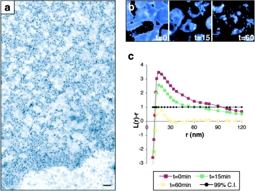 Visualizing lipid rafts using electron microscopy and spatial point pattern analysis. (a) Anti-GFP labeling is specific, ending at the edge of a typical GFP-tH sheet. (b) 60 min of 1% cyclodextrin treatment depletes cell surface cholesterol, detected by filipin labeling (blue). (c) Pooled K-function analyses of the spatial distributions of GFP-tH; L(r) − r values above the 99% confidence interval for CSR (99% CI; closed circles) indicate clustering at that value of r. Untreated GFP-tH (t = 0, red line) shows maximal deflection from CSR at r = 22 nm. Cyclodextrin-treated cells show a time-dependent loss of GFP-tH clustering such that at t = 60 min, GFP-tH is not clustered. K-functions are means (n ≥ 9 for each condition) standardized on the 99% CI. Bar, 100 nm.