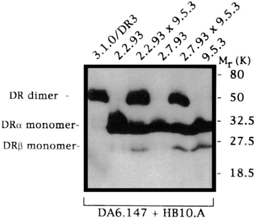 Mutant 2.7.93 expresses unstable class II dimers,  and the defects in dimer stability  in mutant 2.7.93 and DM mutant 9.5.3 are complementary.  Cell lysates from mutant 2.7.93,  and the indicated control cell  lines, DMA mutant 2.2.93 and  DMB mutant 9.5.3, and lysates  from somatic cell hybrids were  run in dimer stability assays essentially as described (55). Western blots were stained with a combination of mAb DA6.147, which recognizes DRα monomer and DRα/β dimers, and HB10.A, which reacts  with DR3β1 and DR3β3 in monomeric form and in DRα/β dimers.
