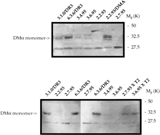 DM protein levels are reduced in 2.7.93-like mutants.Whole  cell lysates from the indicated cells and somatic cell hybrids were run in  denaturing SDS-PAGE and analyzed in Western immunoblots by staining  with 8338H, a rabbit polyclonal anti-DMα antiserum which recognizes  HLA-DMα monomer, as described in Materials and Methods.