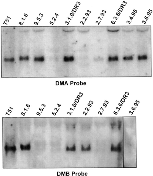 DMA and DMB mRNA levels are reduced in 2.7.93-like  mutants. Total cellular RNA from the indicated cells were analyzed in  Northern blots. Full-length probes from DMA and -B cDNAs were labeled with [32P]dCTP and used for hybridization. Reprobing of Northerns with actin (not shown) indicated equal loading of RNA to all lanes.