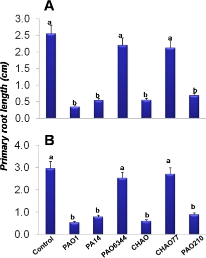 Direct and indirect effect of pseudomonad strains on the growth of A. thaliana Col-0 roots (A&B).Severe reduction of primary root length (A&B) followed by the death of the seedlings was observed 5 days post-inoculation in the case of PAO1, PA14 and CHAO cultured at a distance of 1.5 cm from the primary root tip. The data also shows less reduction in primary root length in the case of PAO6344, CHAO77, when compared to PA01, PA14 and CHAO, Different letters indicate a statistically significant difference between treatments (Fisher's LSD, P<0.05). Data is the mean±SD of 12 replicates and the experiment was repeated on two independent occasions.