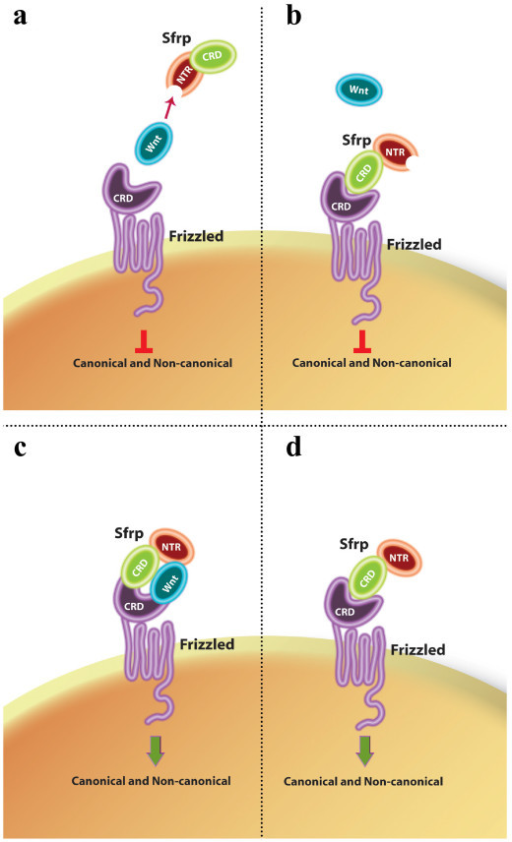 SFRP mode of action may rely on multiple interactions with Wnt ligands and/or Frizzled receptors. Schematic representation of possible mechanisms by which SFRPs could modulate Wnt/Frizzled signalling. (a) SFRPs can antagonize Wnt activity by directly binding to the ligand through its Netrin-related domain. (b) SFRPs could interact directly with Frizzled receptors through their corresponding CRD motifs and prevent signal transduction. (c) Frizzled, Wnt and SFRP molecules could form heterotrimeric complexes, where SFRP could present the Wnt ligand to the Frizzled receptor thanks to the differential interactions of the CRD and NTR domains. (d) In the absence of Wnt ligands, SFRPs can directly bind a Frizzled receptor and transduce a signal. See the text for further details.