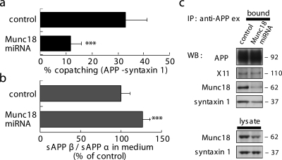 Munc18 is required for APP–syntaxin 1 copatching and regulates β cleavage in N2a cells. (a) The effect of RNAi-mediated knockdown of endogenous Munc18 on APP–syntaxin 1 copatching. RNAi reduced APP–syntaxin 1 copatching, indicating a requirement of Munc18 for APP–syntaxin 1 copatching. Results are means + SD of 32–38 measurements. (b) The effect of Munc18 knockdown on β cleavage. N2a cells were transfected with pHVenus-APP and RNAi vector. Released sAPP in medium was captured with anti-GFP and quantified with anti-sAPP end-specific antibodies. Munc18 knockdown promoted β cleavage, which is consistent with an inhibitory role of X11–Munc18–syntaxin 1 on β cleavage. Data are means + SD based on four independent experiments (n = 8). (c) The effect of Munc18 knockdown on the interaction between APP and syntaxin 1. N2a cells were lyzed with Lubrol and used for IP with anti-APPex. In the lysate of N2a cells transfected with RNAi vector, syntaxin 1 association with APP was reduced. ***, P < 0.001.